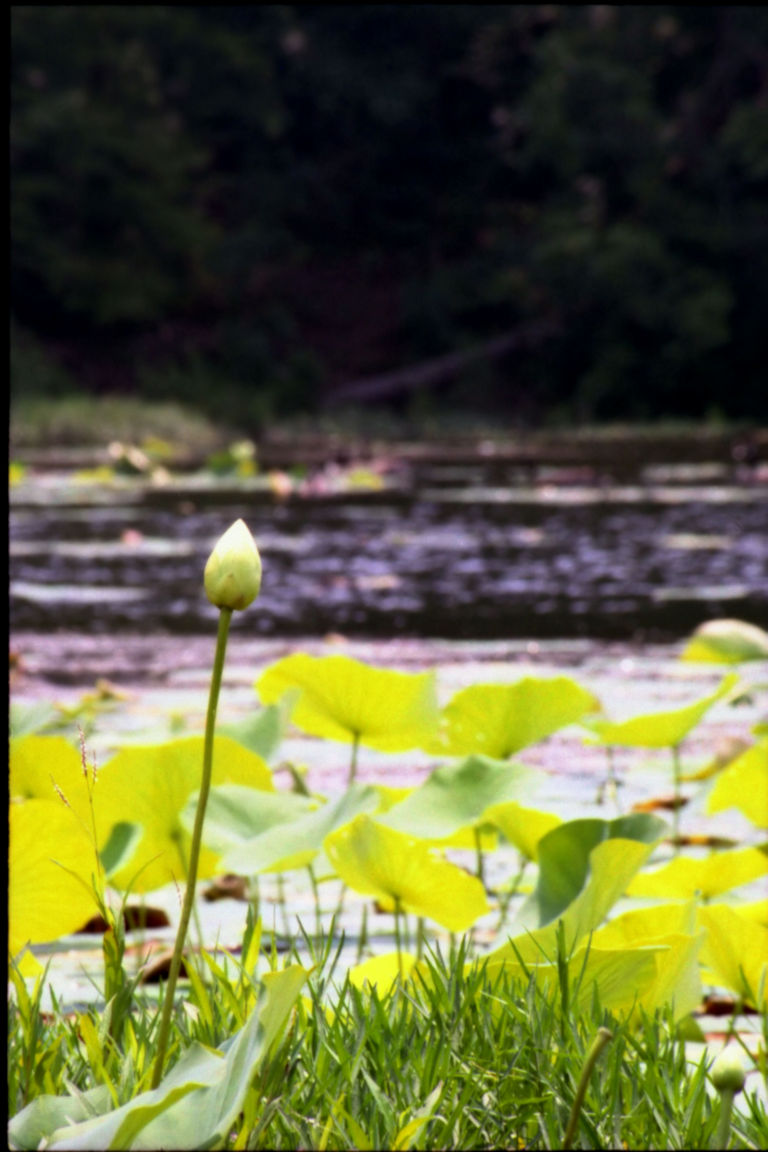 Water-Lily-Bud[1]