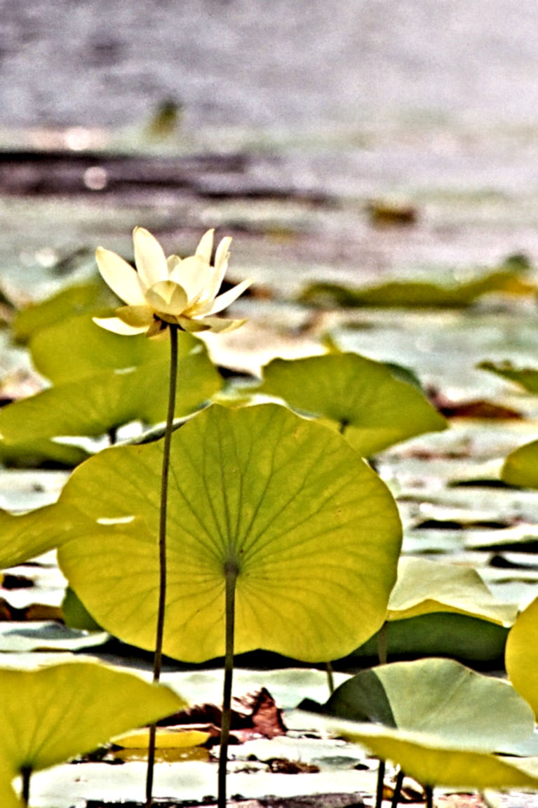 Water-Lily[1]