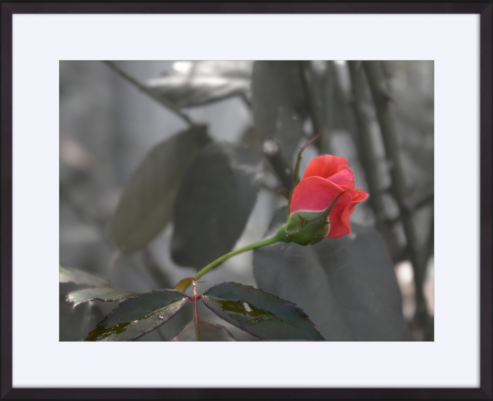 ROSE BUD (Kelly's Rose too) mat/framed