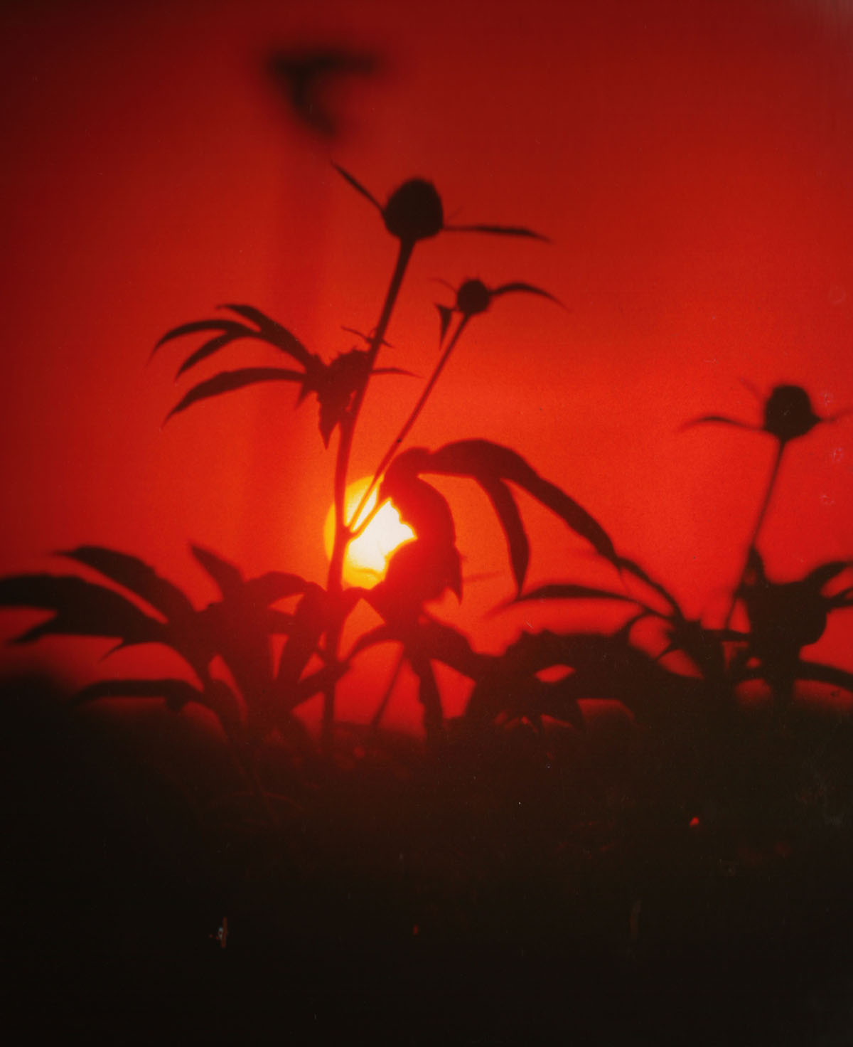 peonies at sundown 2